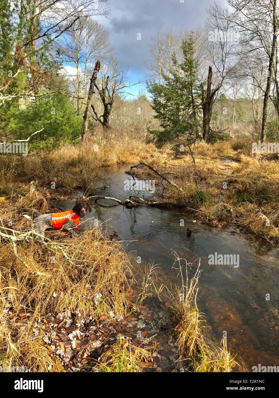 German Shorthaired Pointer hunting for birds in woods - Stock Image