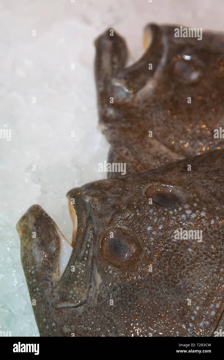 turbot (Scophthalmus maximus) flatfish on a fishmarket in Spain - Stock Image