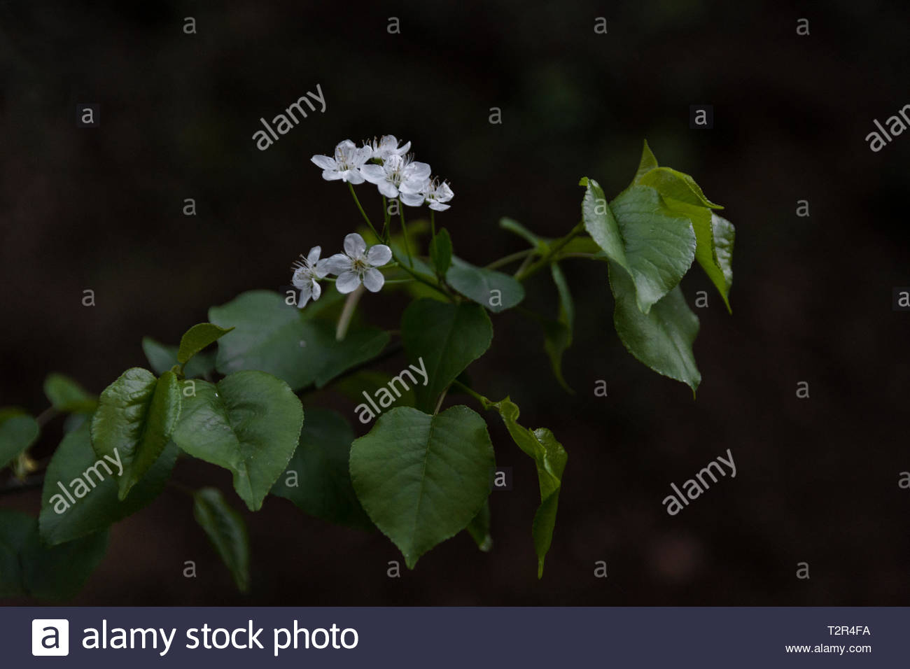A wonderful flower. Spring ,  In  the heart of mountain's walk path. - Stock Image