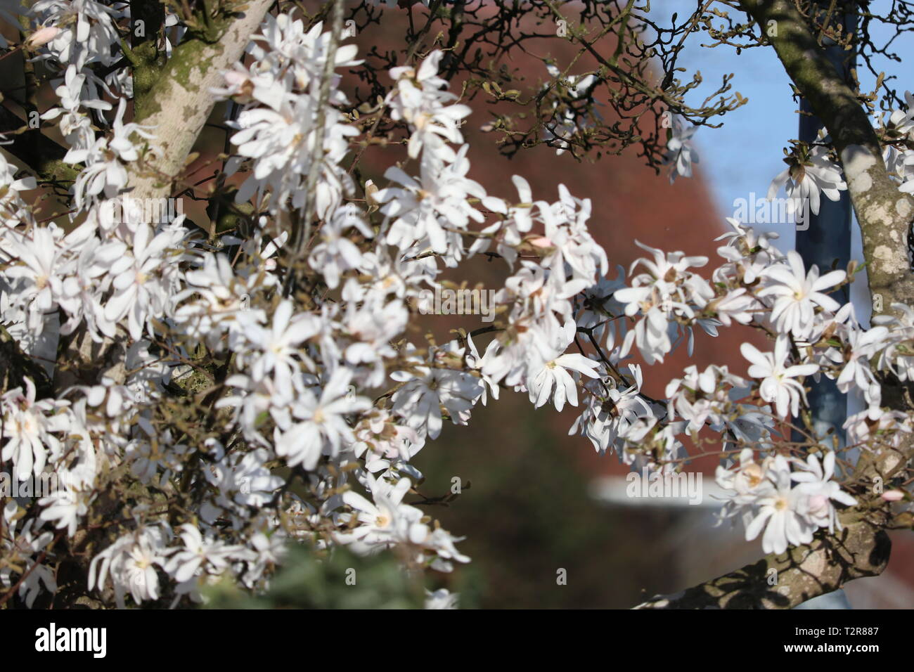 beautiful star magnolia in spring with good weather - Stock Image