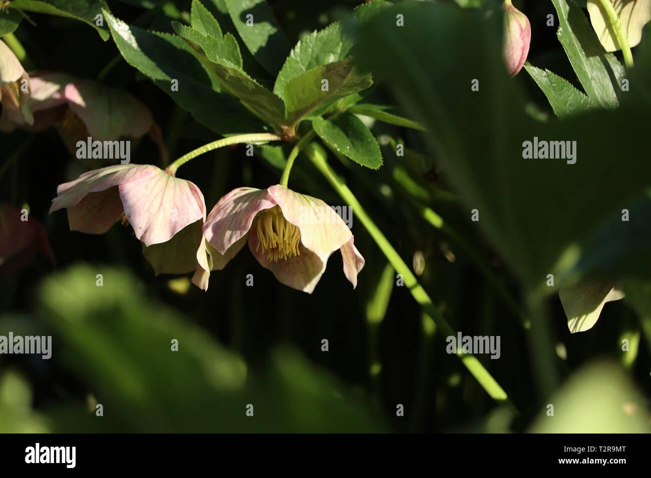 christ rose blossom - Stock Image