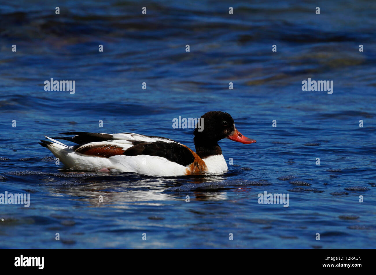 Adult female shelduck, Tadorna taorna, swimming in Baltic Sea at the Gotland Island in Sweden. - Stock Image