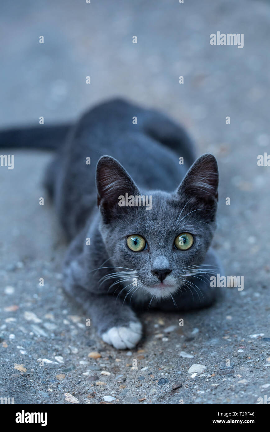 Lovely kitty with grey fur playing - Stock Image