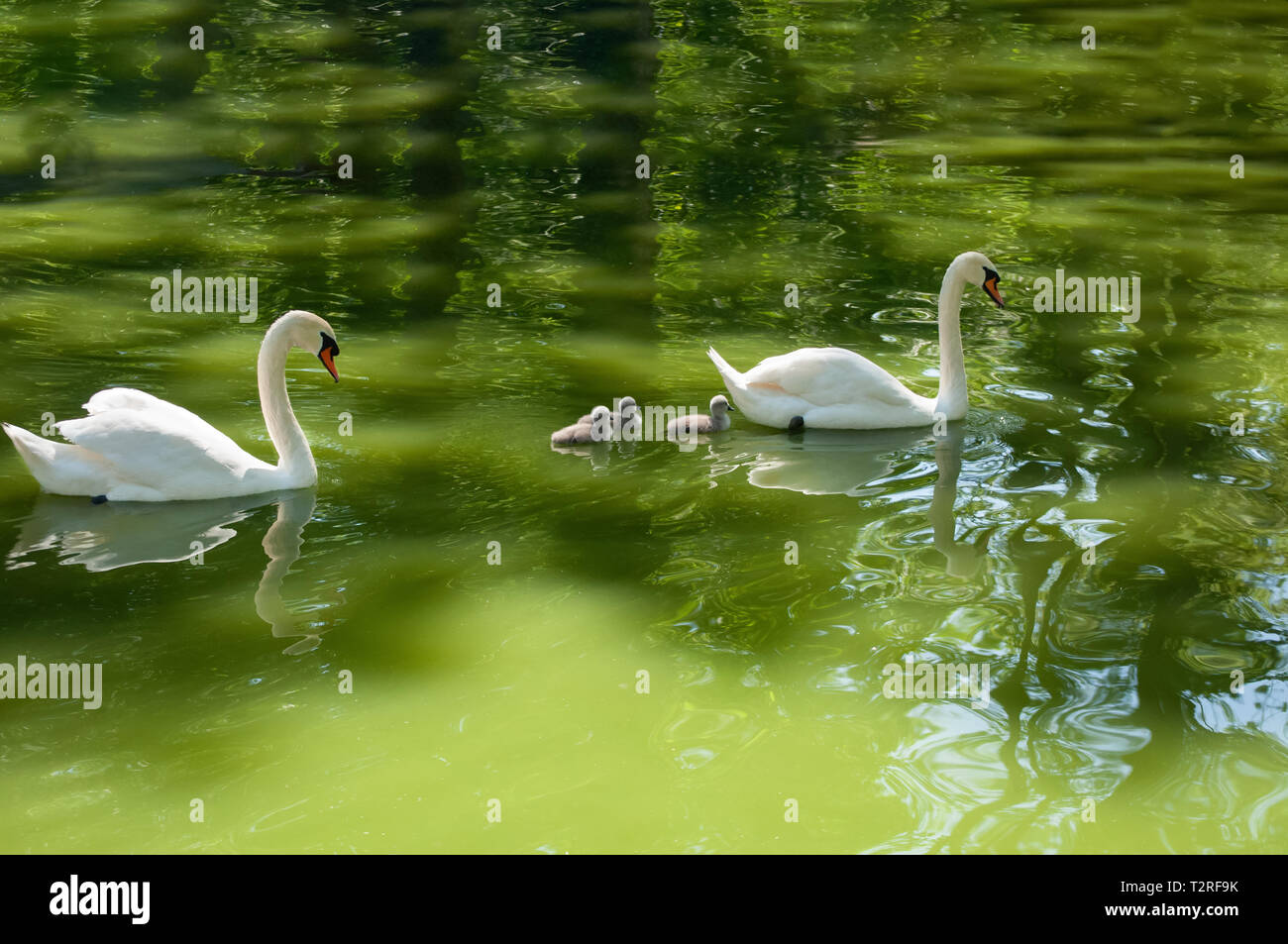 Parents white swans and babies swimming on the lake Stock Photo