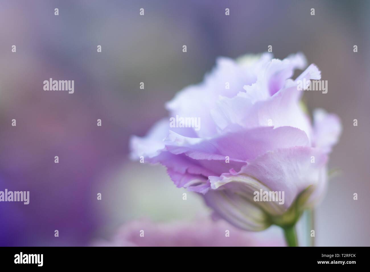 Beautiful purple lisianthus - Stock Image
