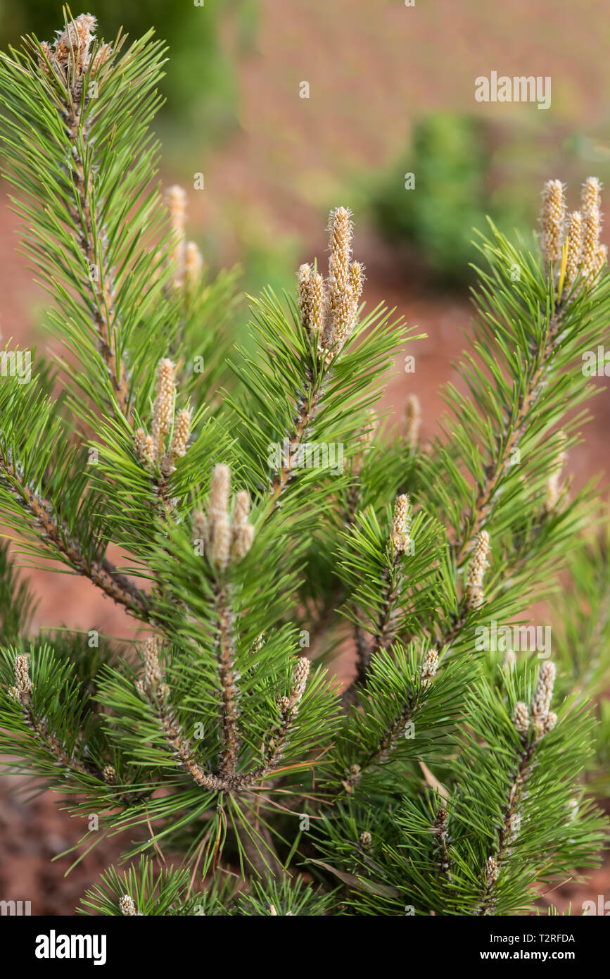 Pine tree with spruces - Stock Image