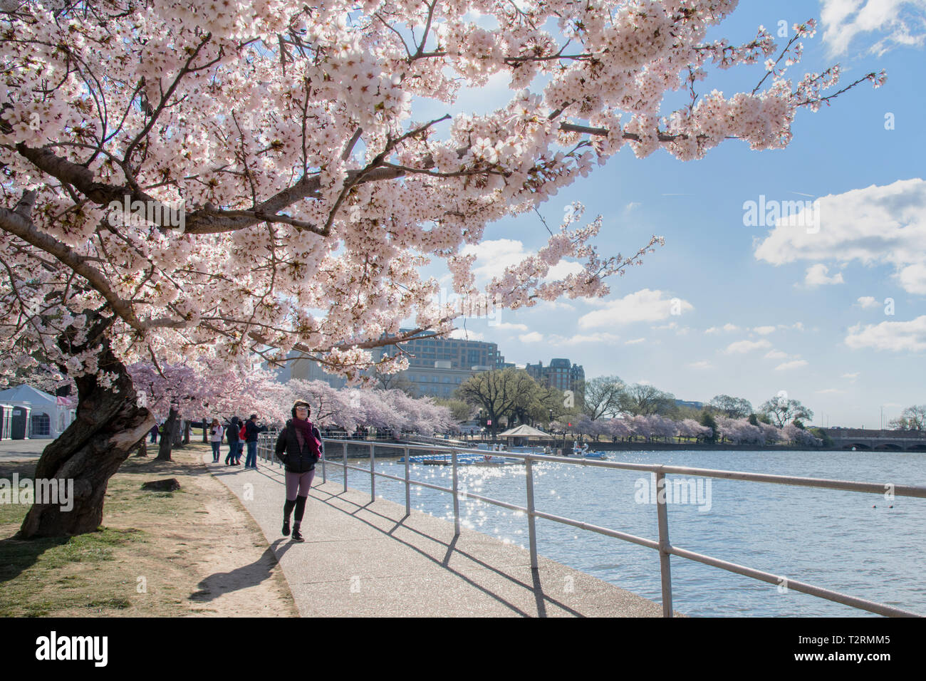 Cherry Blossoms In Peak Bloom Along The Tidal Basin April 1 2019 In Washington D C The Flowering Cherry Trees Originated In 1912 As A Gift Of Friendship From The People Of Japan