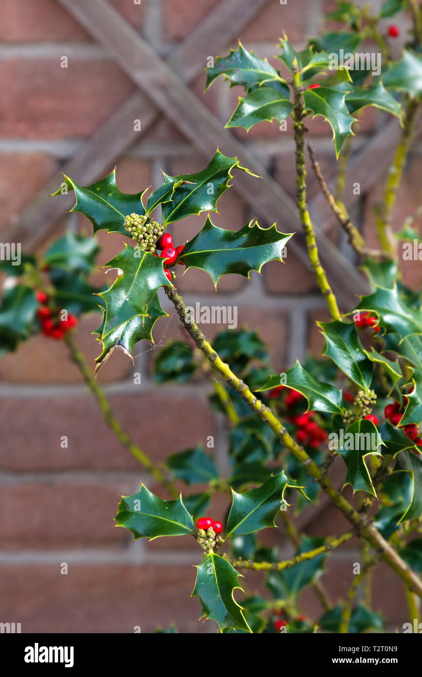 Branch American hollies as a symbol of winter holidays, New Year and Christmas. American Holly Ilex opaca with red berries. - Stock Image
