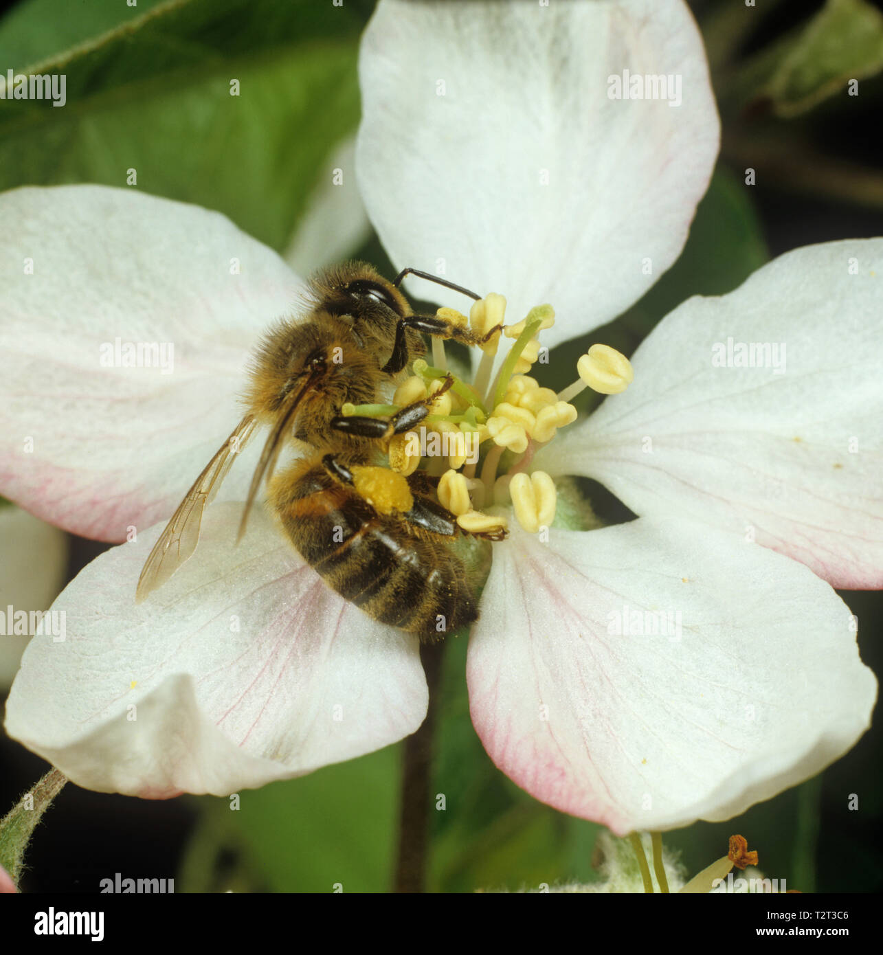 Worker honey bee (Apis mellifera) gathering pollen in pollen sacs or corbiculae from apple blossom - Stock Image