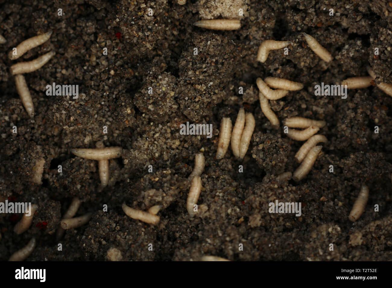 Maggots Food Stock Photos & Maggots Food Stock Images - Alamy