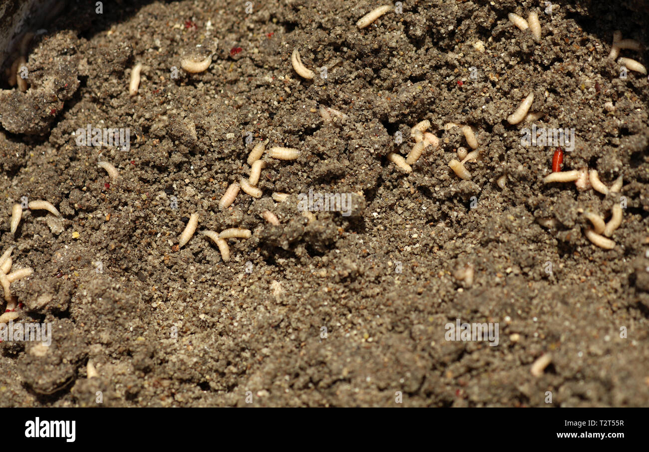 Maggots in fish food while fishing - Stock Image