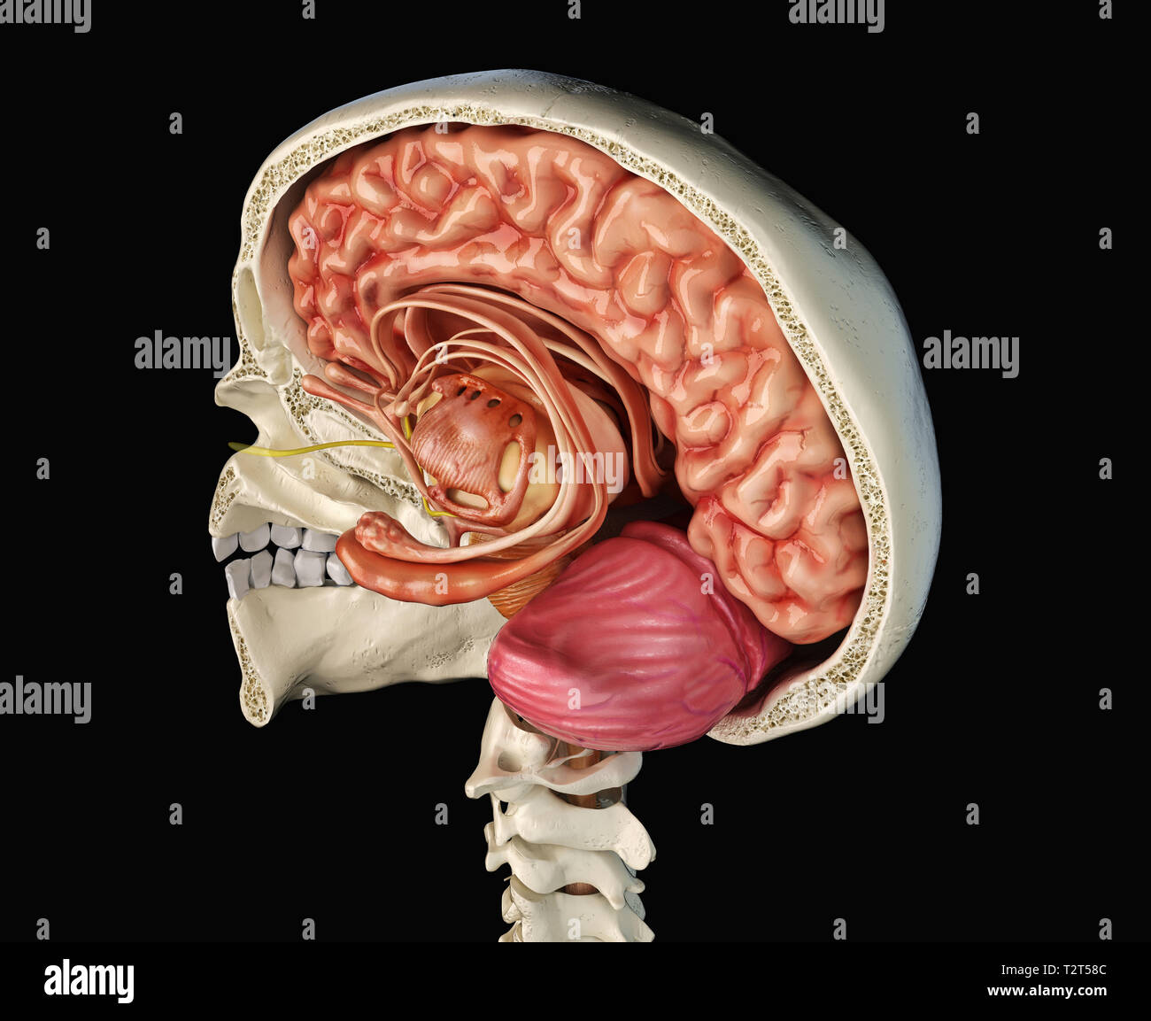 Human skull mid sagittal cross-section with brain. Perspective view on black background. - Stock Image