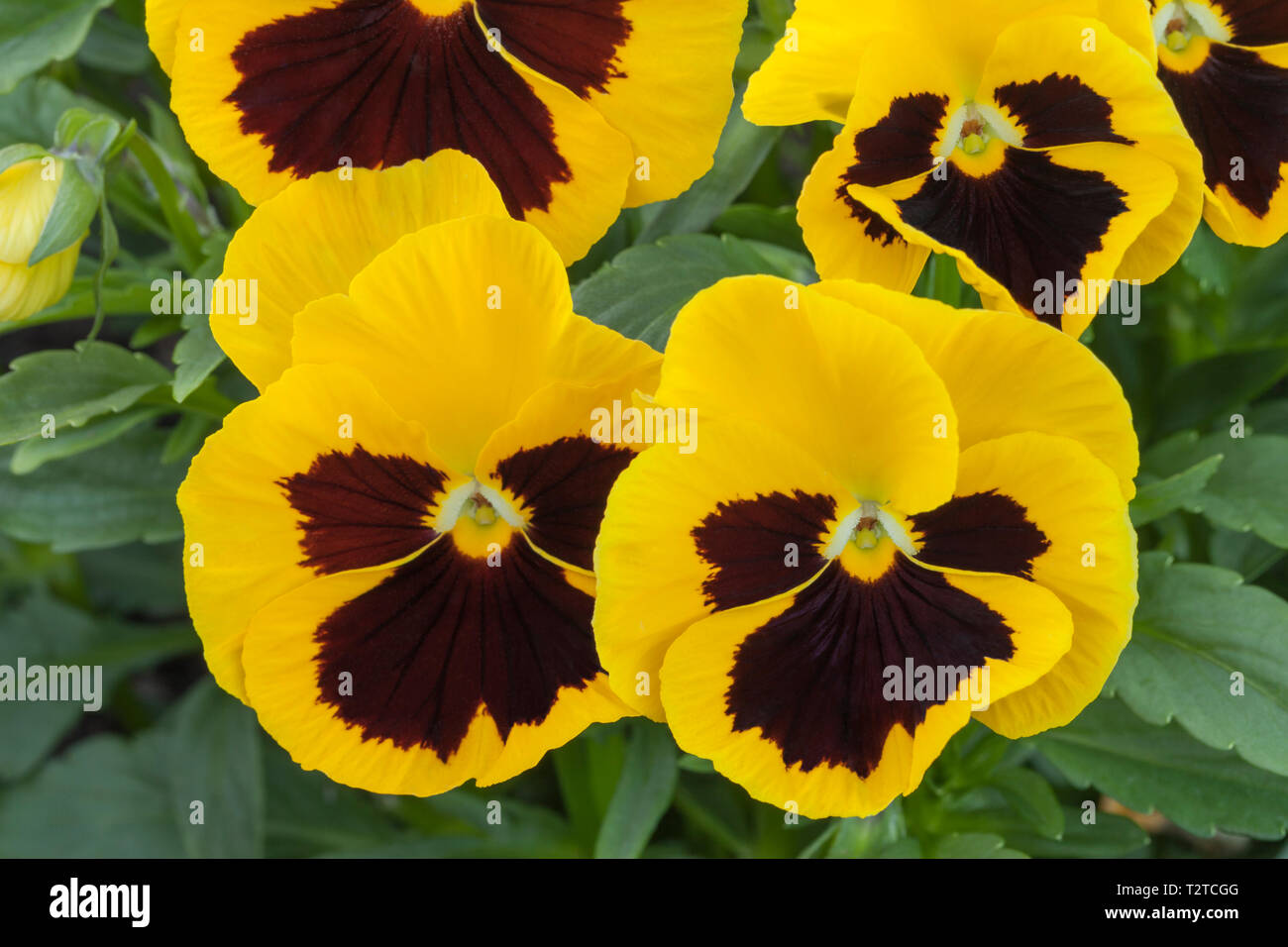 Pansy 'Yellow Blotch' - Stock Image