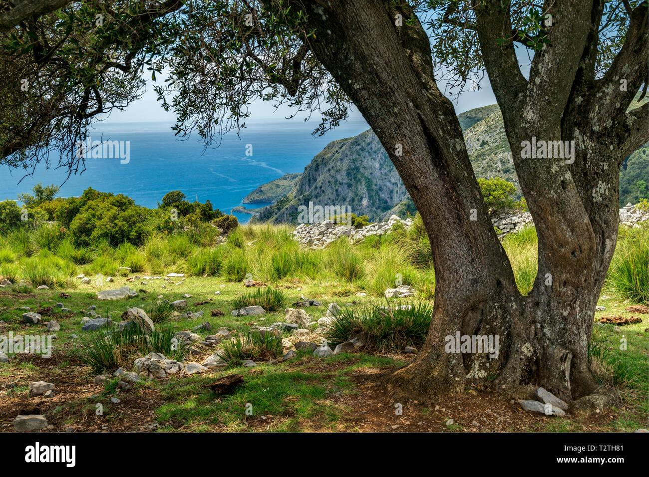Italy, Campania, Cilento National Park,  Masseta and Infreschi  Coast, olive grove, Pisciottana olive tree - Stock Image