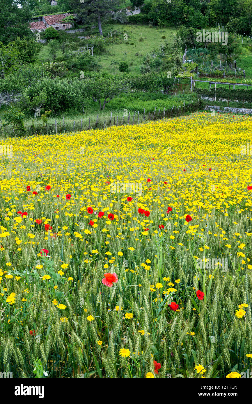 Italy, Campania, Cilento National Park,  Masseta and Infreschi Marine protected area, farmland, wheat field,  garland chrysanthemum, common poppy - Stock Image