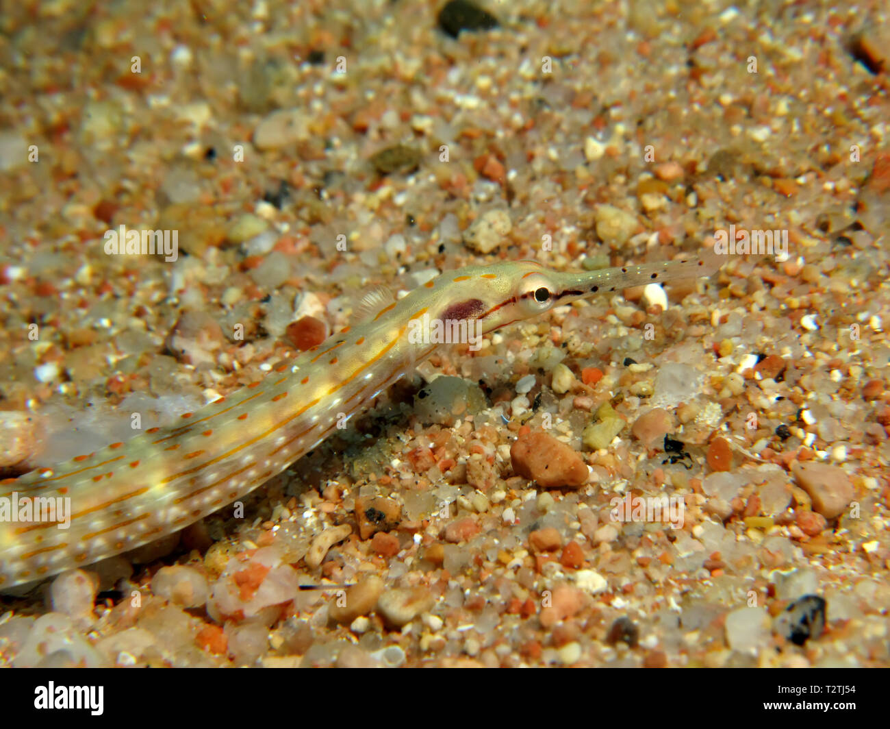Guilded pipefish (Corythoichthys cf. schultzi). Taking in Red Sea, Egypt. - Stock Image