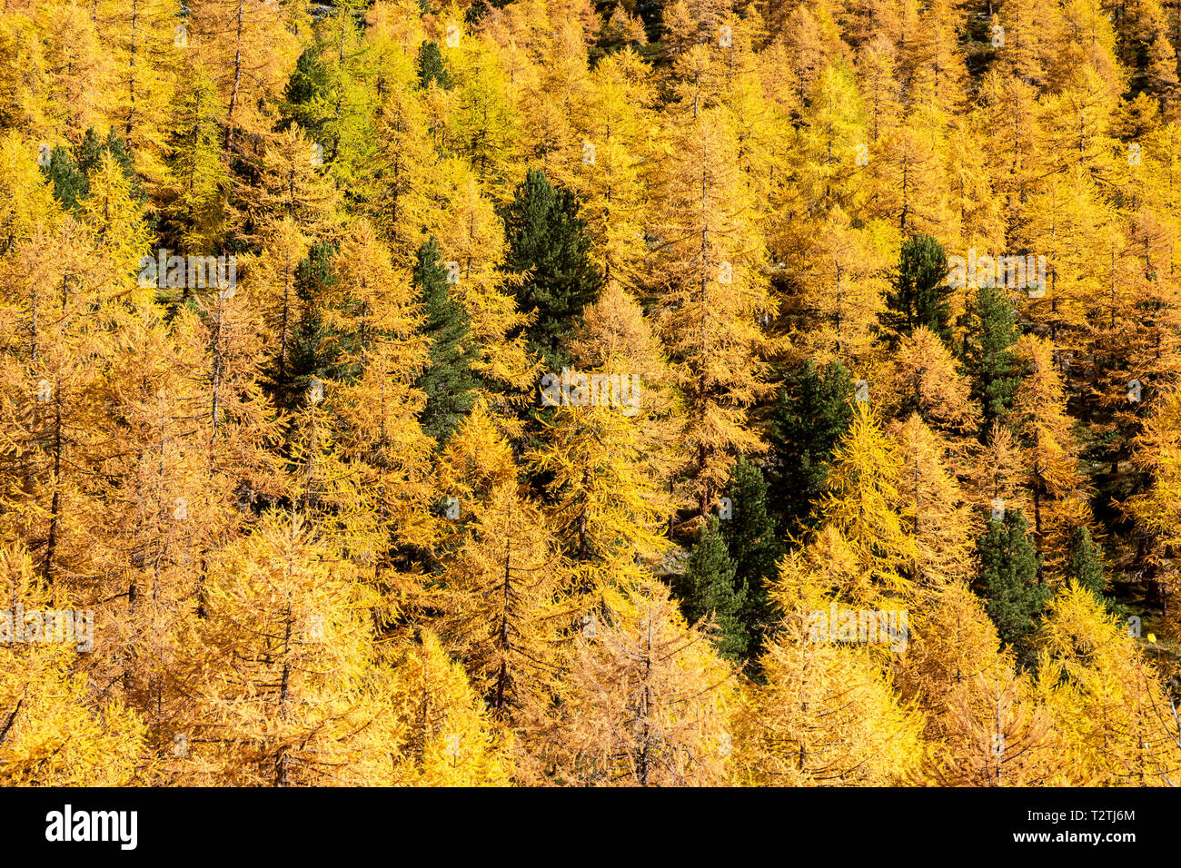 Italy, Aosta Valley, Gran Paradiso National Park, Rhemes Valley, European larches forest in autumn and Swiss stone pine (Pinus cembra) Stock Photo