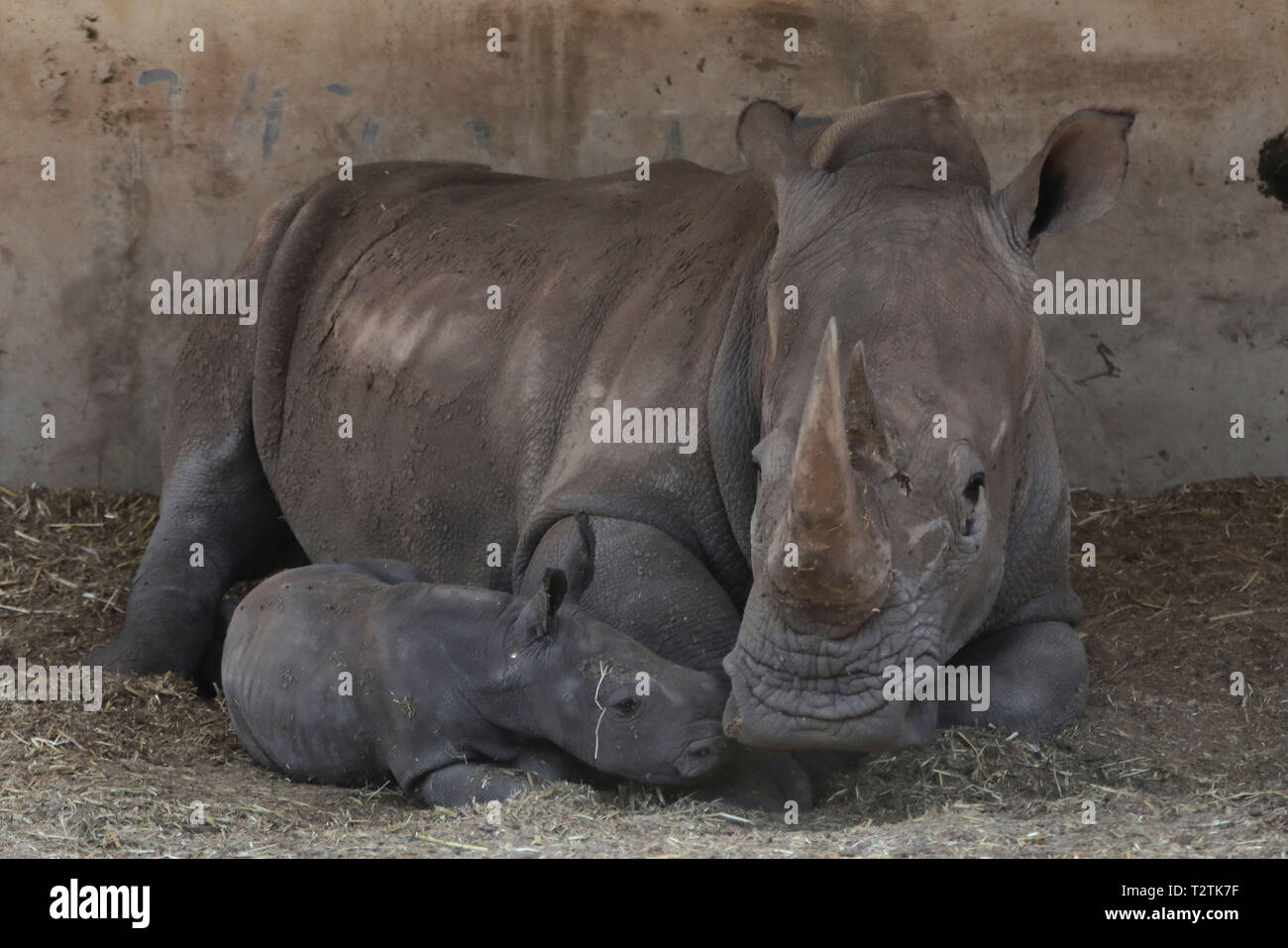 Ramat Gan, Israel. 3rd Apr, 2019. The newly born female southern white rhinoceros and its mother are seen at the Safari Park in Ramat Gan, Israel, April 3, 2019. Credit: JINI/Gideon Markowicz/Xinhua/Alamy Live News Stock Photo