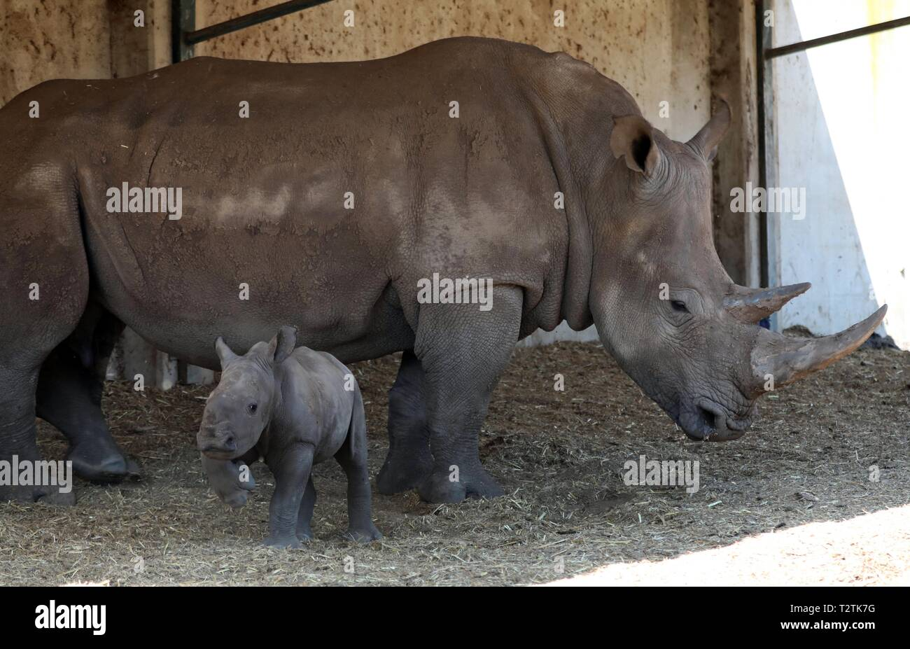 Ramat Gan, Israel. 3rd Apr, 2019. The newly born female southern white rhinoceros and its mother are seen at the Safari Park in Ramat Gan, Israel, April 3, 2019. Credit: JINI/Gideon Markowicz/Xinhua/Alamy Live News - Stock Image