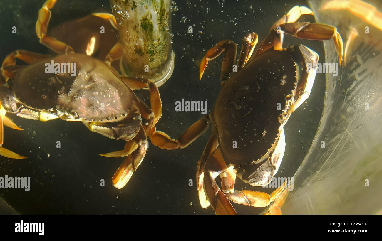 looking down into a tank of live dungeness crabs at pike place market in seattle washington - Stock Image