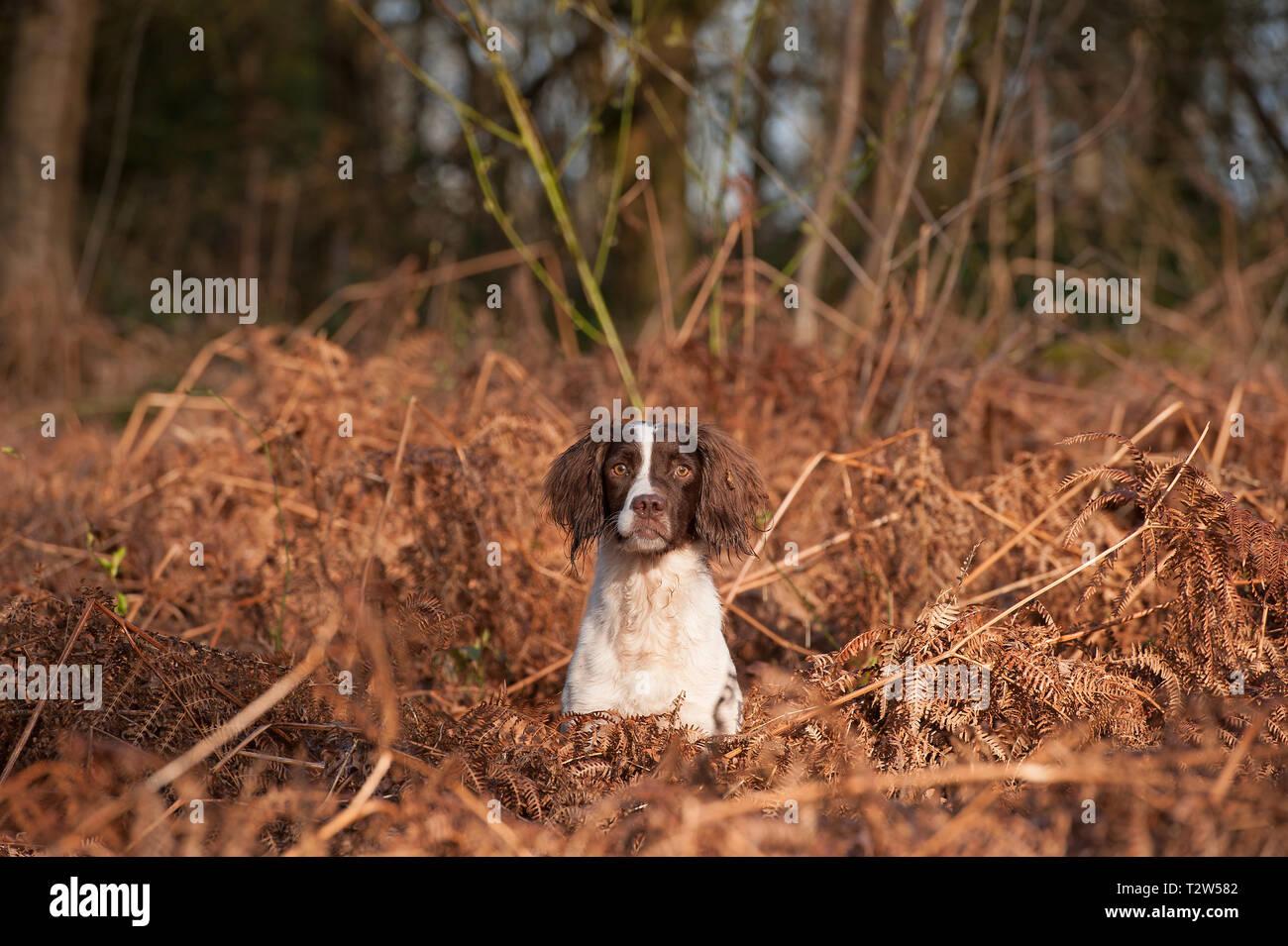 Springer Spaniel - Stock Image