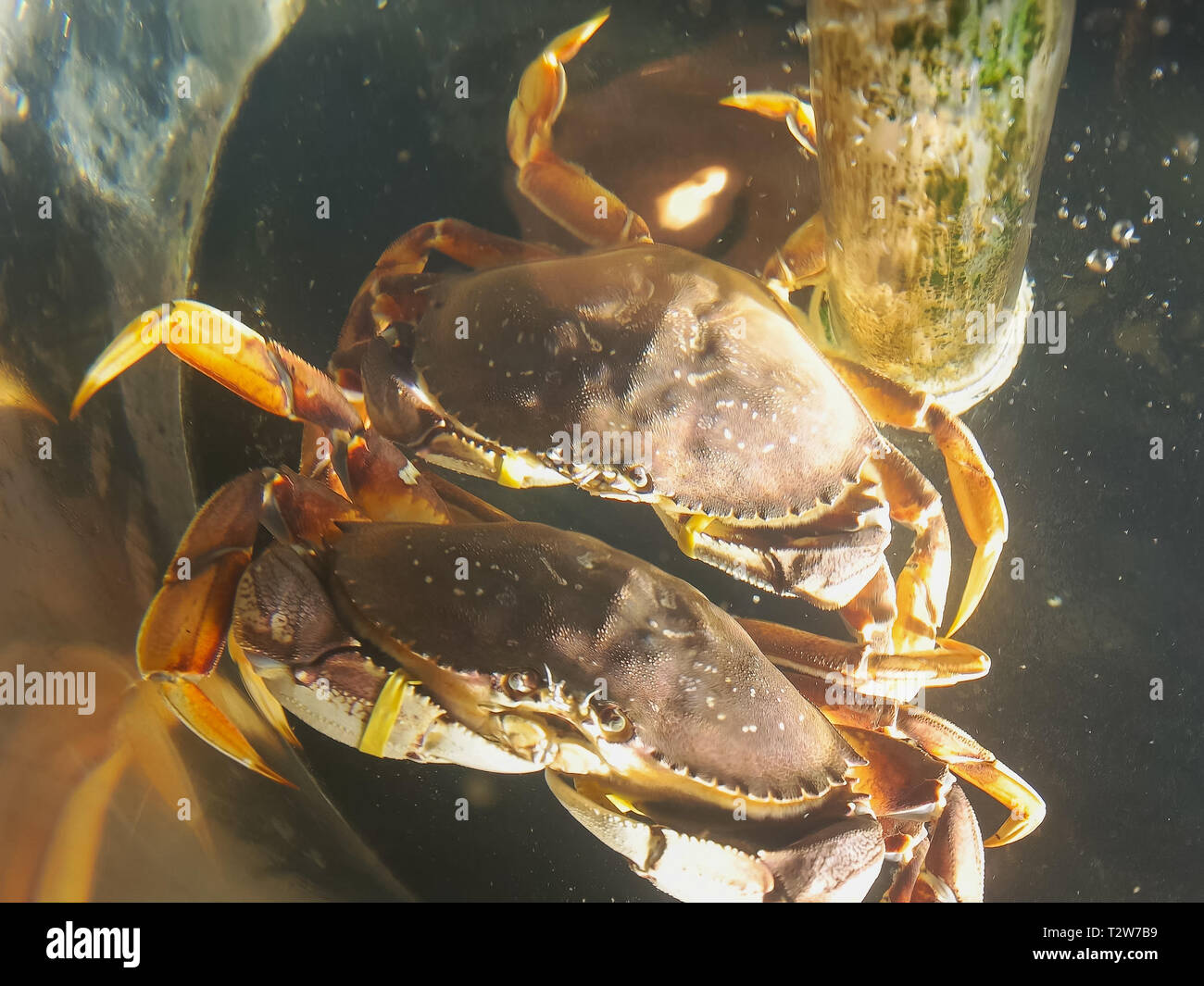 two live dungeness crabs at pike place market in seattle washington - Stock Image