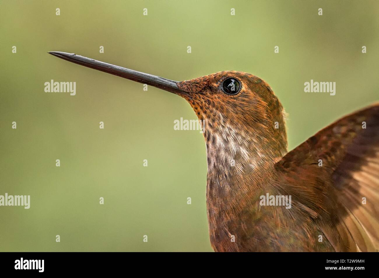 Bronzy inca, hummingbird from tropical forest,Colombia,close up bird portrait,clear colorful background,nature,wildlife, exotic birding adventure Stock Photo