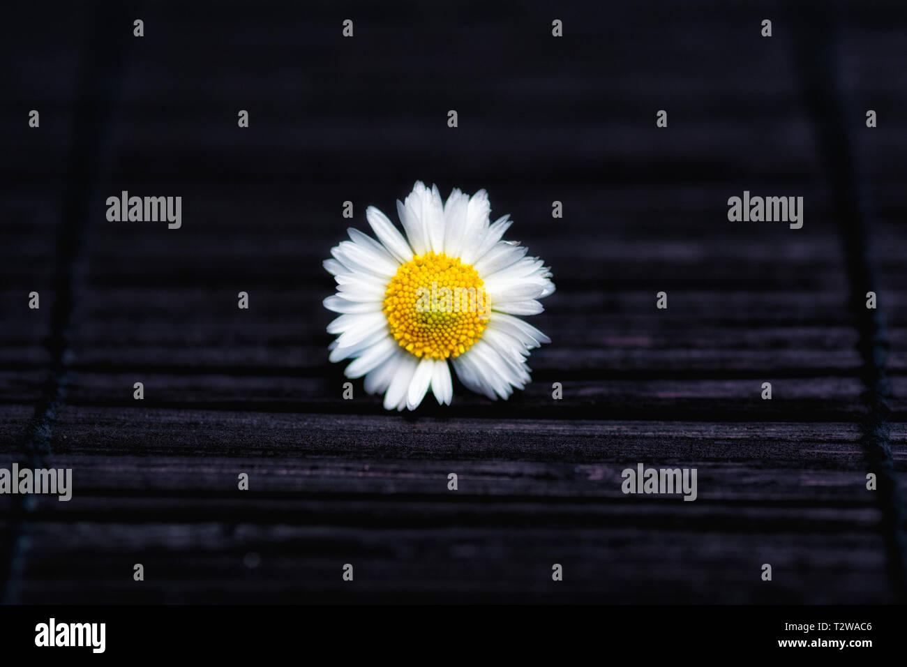 daisy in the dark - Stock Image