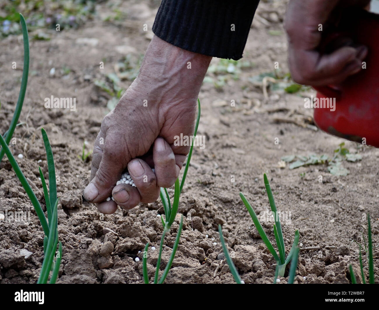 Close up of a old man hand holding fertilizer in the garden - Stock Image