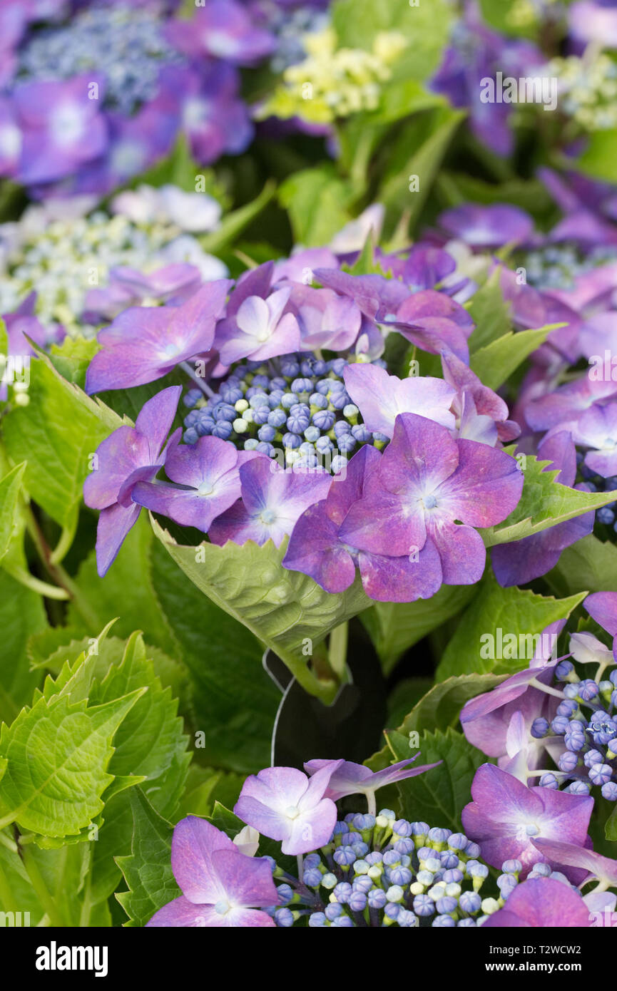 Hydrangea macrophylla 'Kardinal Violet' flowers. Stock Photo