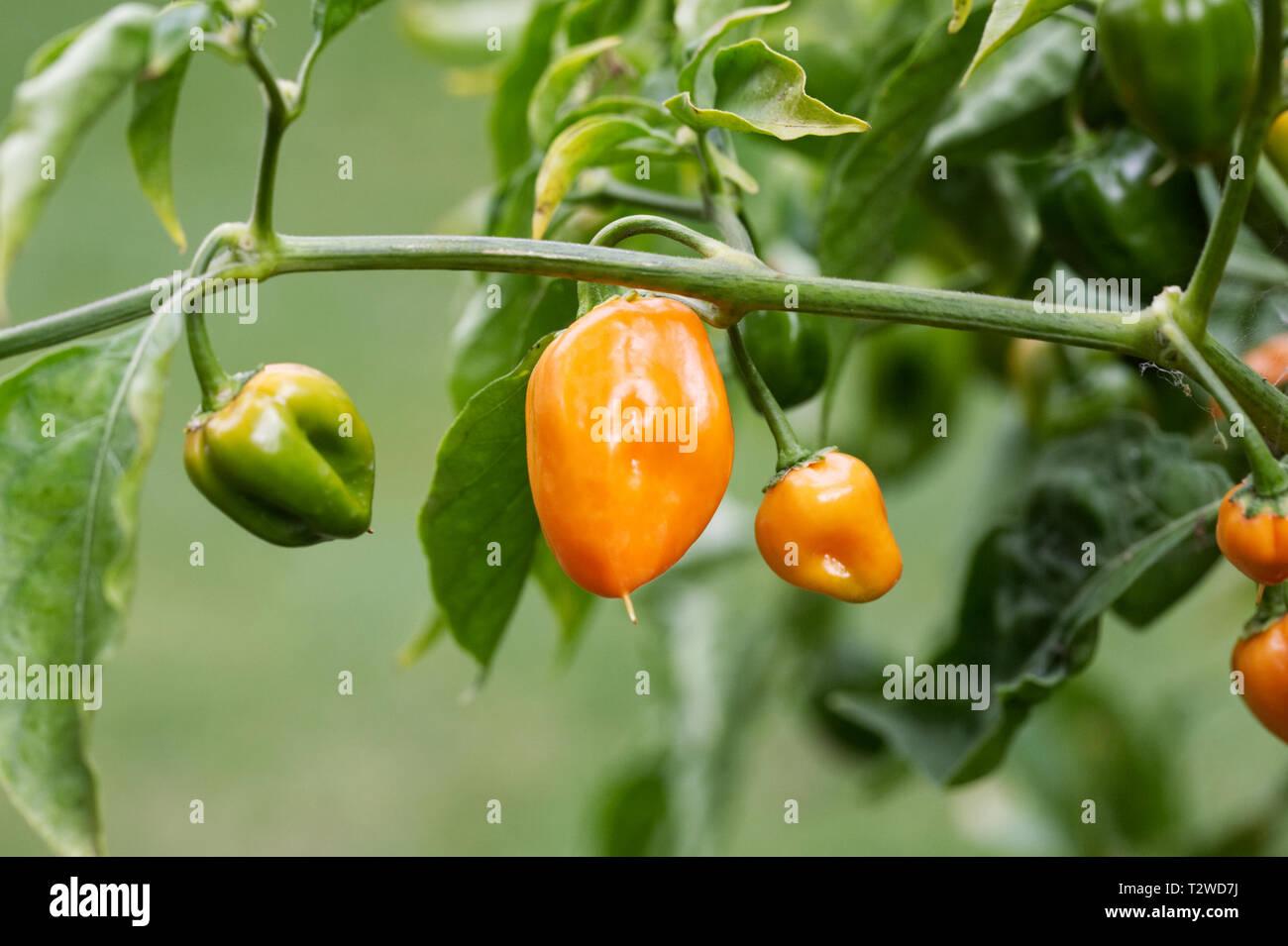 Capsicum annuum 'Orange Habanero'. Habanero Chilli pepper. Stock Photo