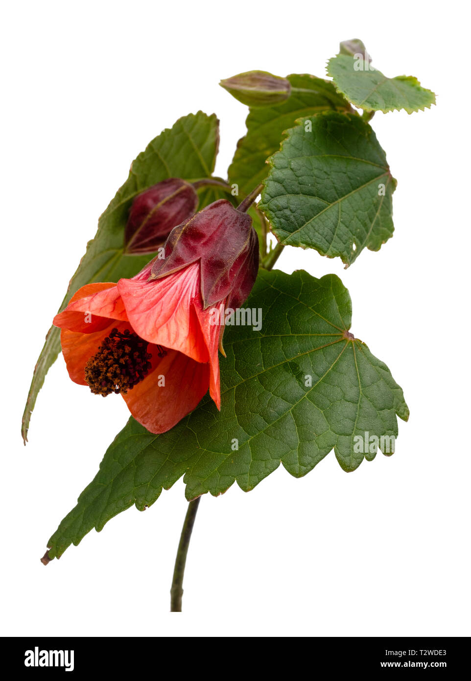 Orange bell flower of the half hardy, lax growing shrub, Abutilon 'Patrick Synge', isolated on white - Stock Image