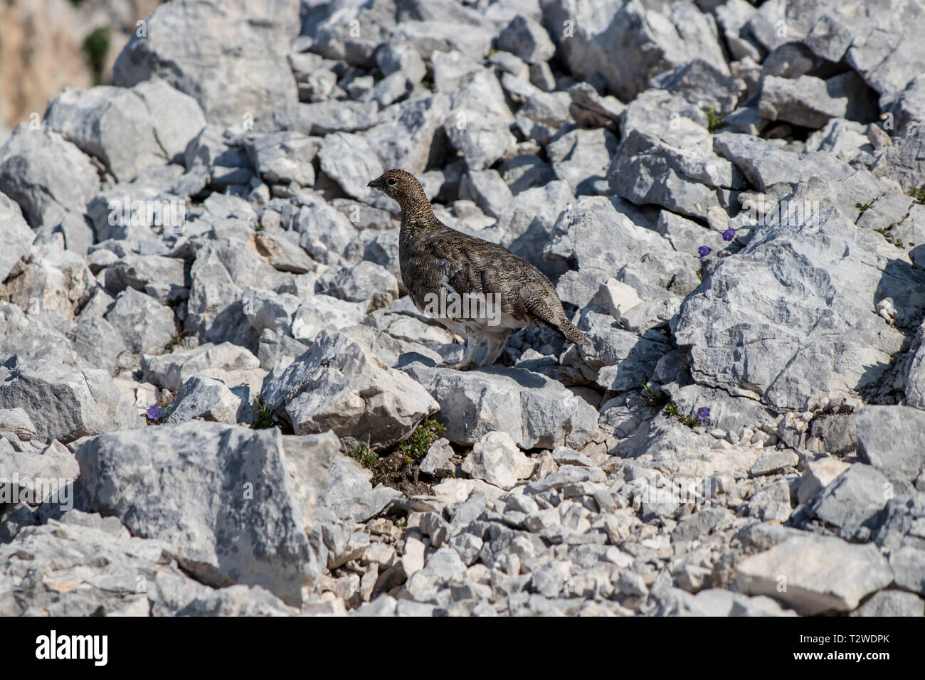 rock ptarmigan in the mountains - Stock Image