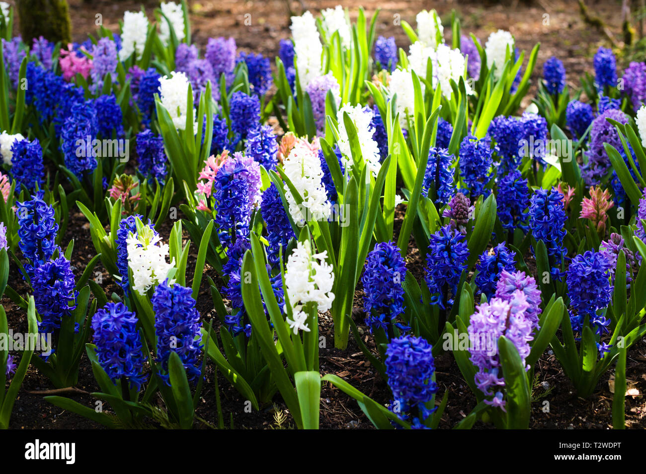Colorful Flowers in the Gardens in Bear Creek Park, Surrey, British Columbia, Canada - Stock Image