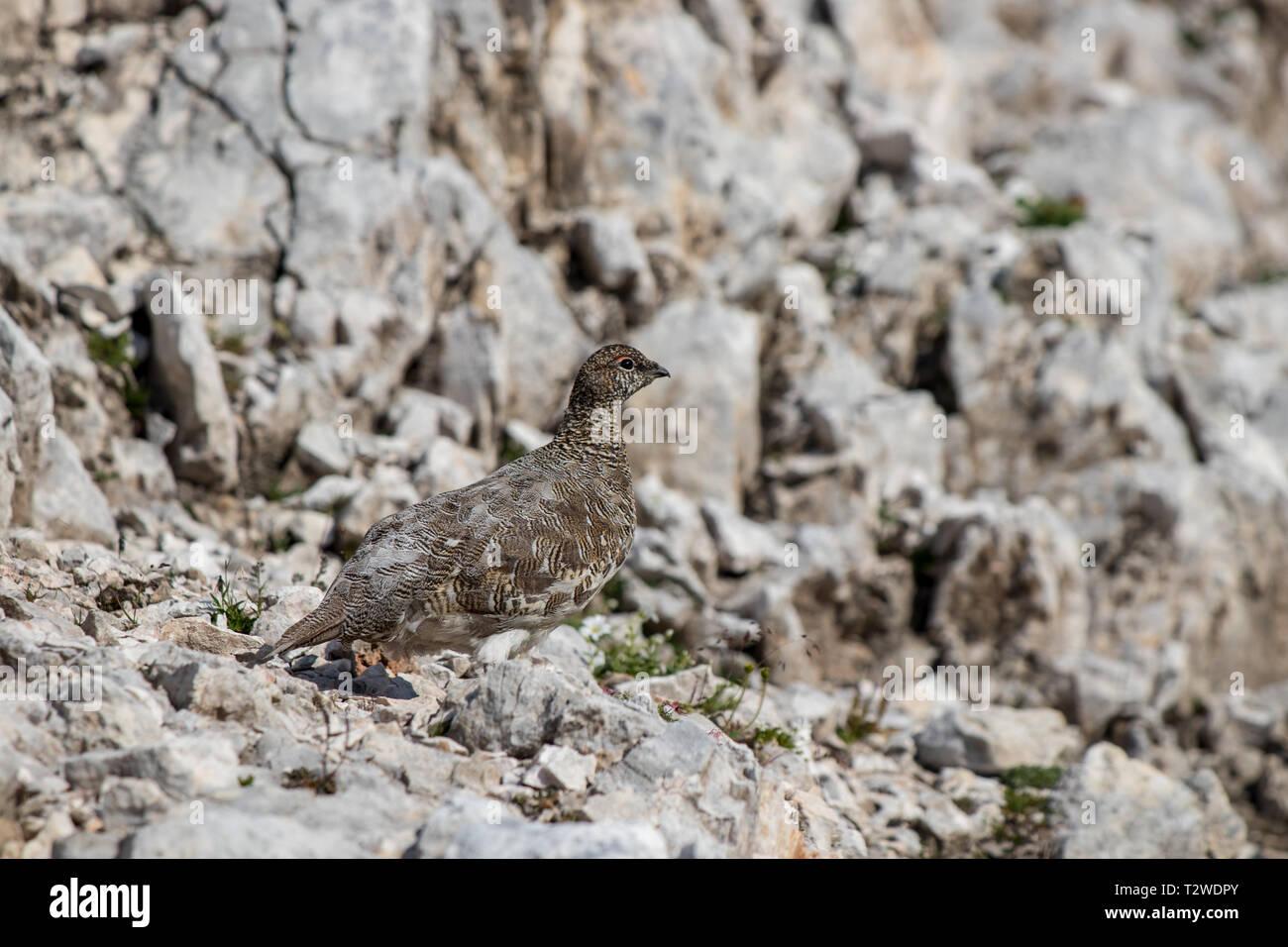 rock ptarmigan on the rock close up - Stock Image