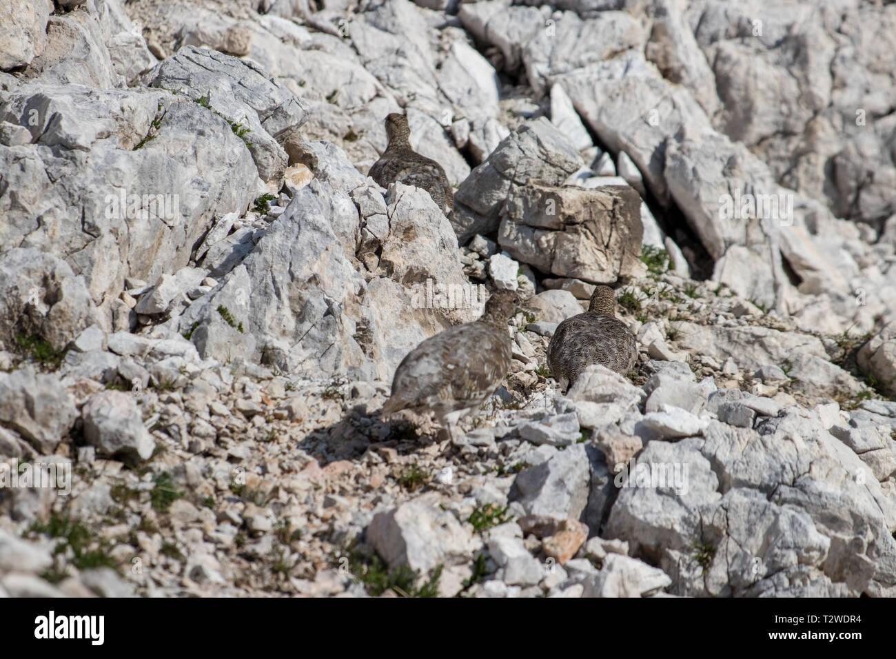 three rock ptarmigan walking - Stock Image