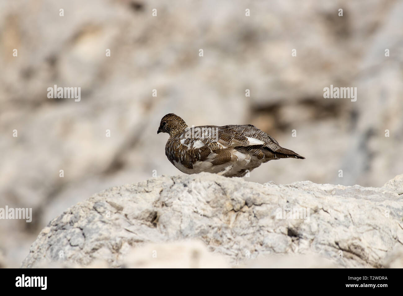 brown rock ptarmigan in the mountains - Stock Image