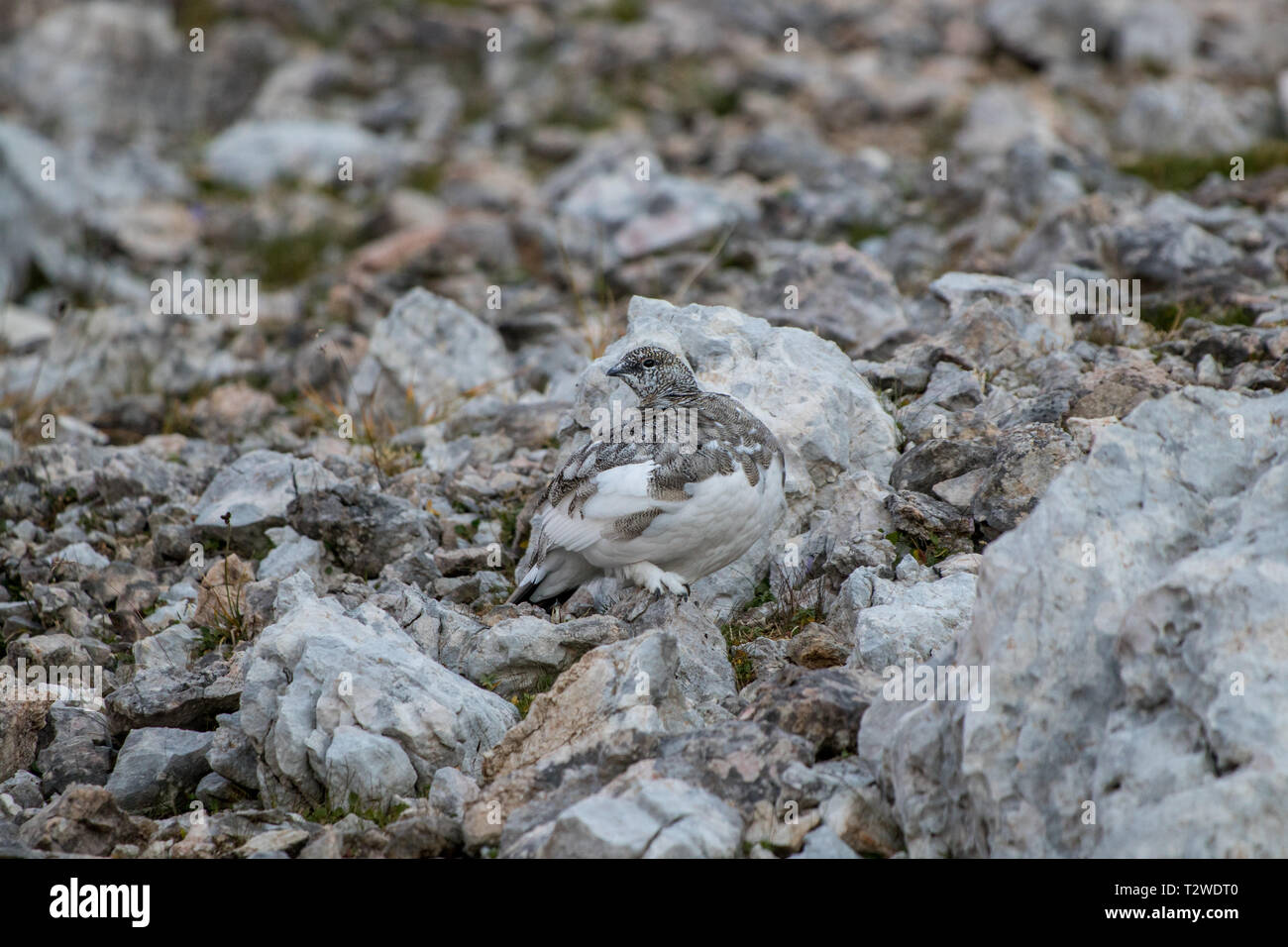 cute rock ptarmigan in the mountains - Stock Image