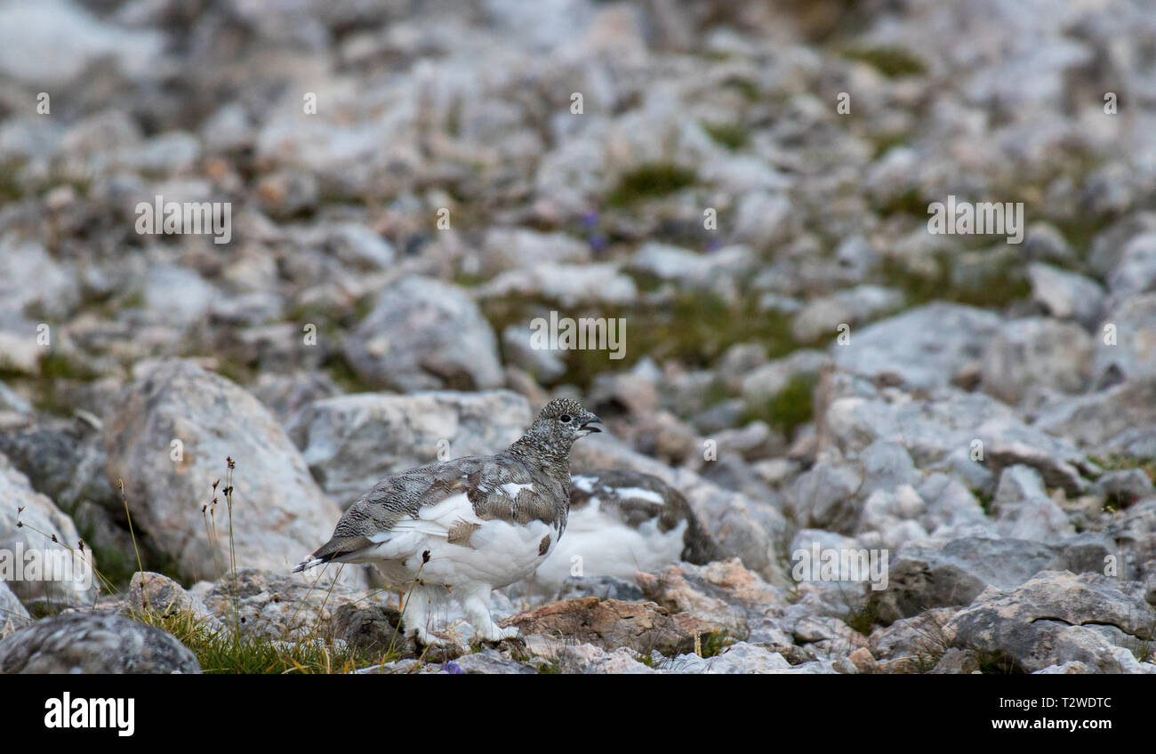 two cute rock ptarmigan in the mountains - Stock Image