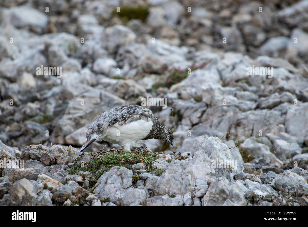 rock ptarmigan feeding in the mountains - Stock Image