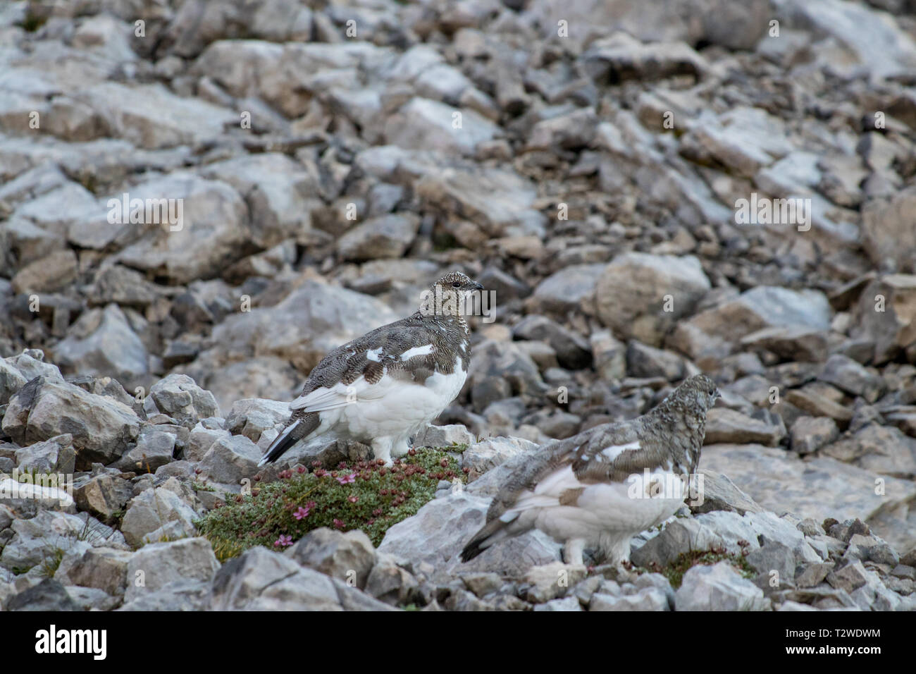 two rock ptarmigan on the rocks - Stock Image