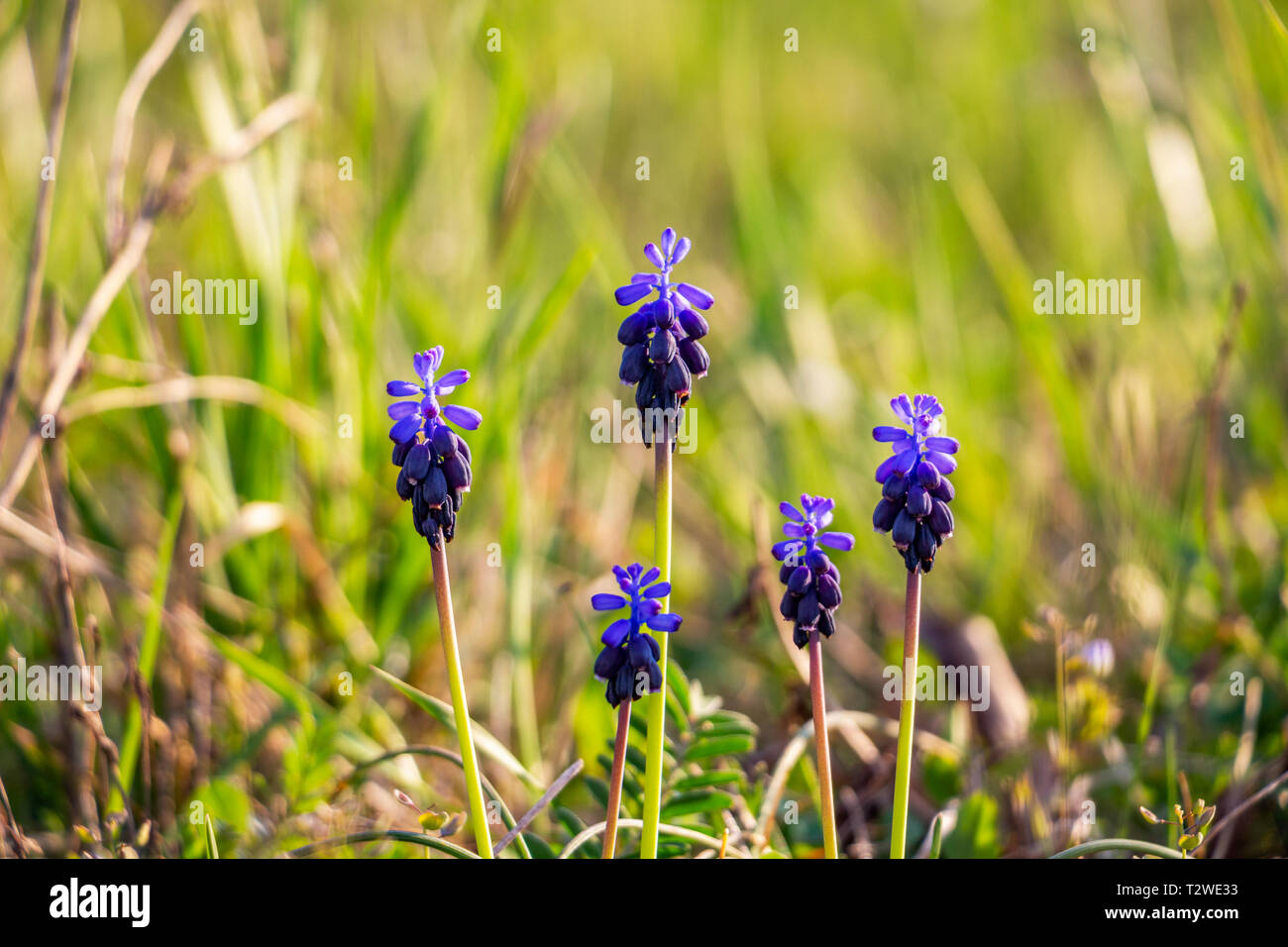Close-up of March Muscari neglectum flowers on natural blurred background Stock Photo