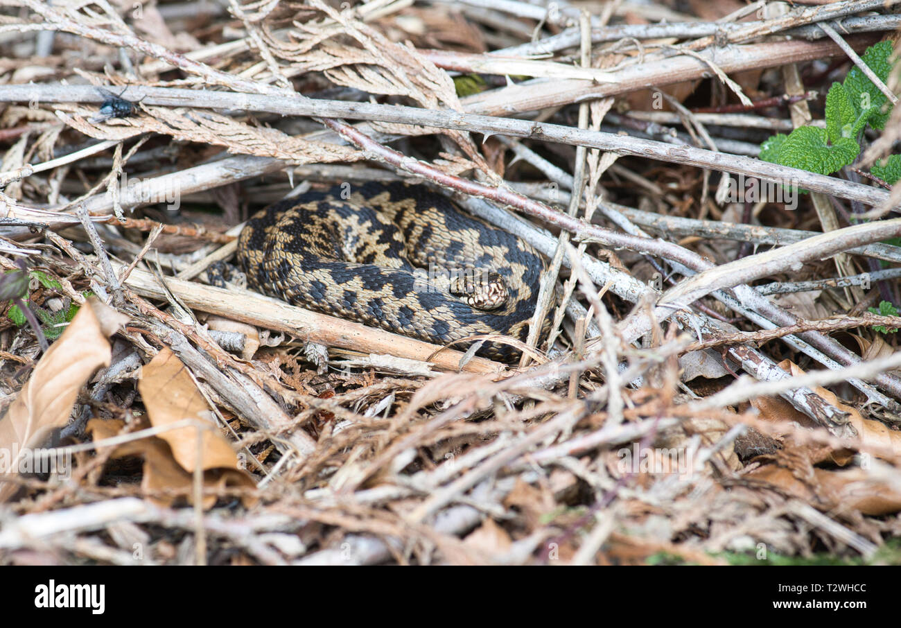 Adder (Vipera berus), adult male basking in early spring - Stock Image