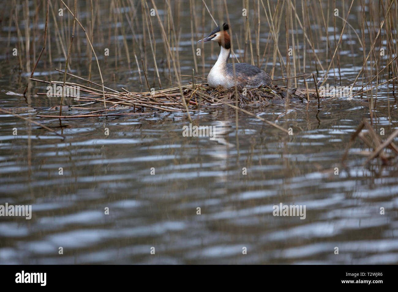 Great Crested Grebe (Podiceps cristatus) Stock Photo
