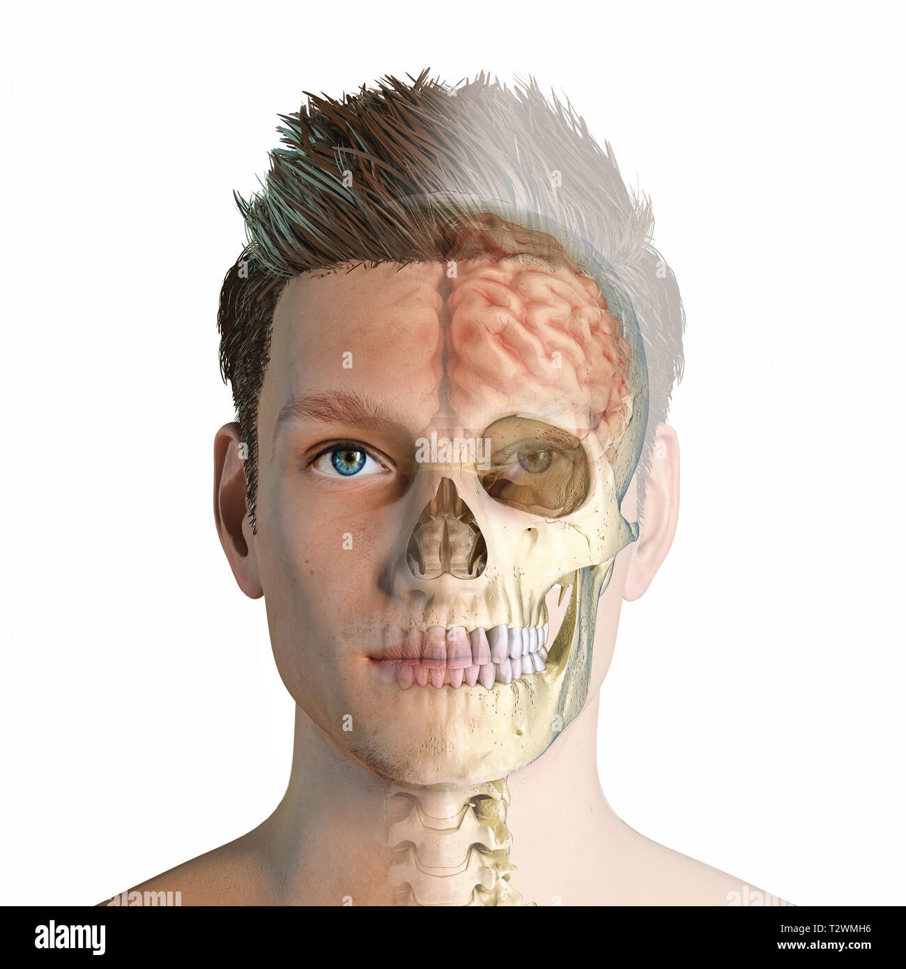 Man head with skull and brain ghosted. Front view, half face and half skull/brain on white background. Anatomy image. - Stock Image