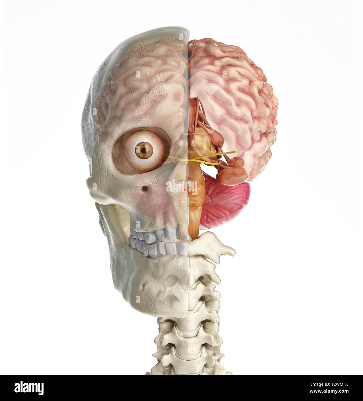 Human skull mid sagittal cross-section with brain. Front view on white background. - Stock Image