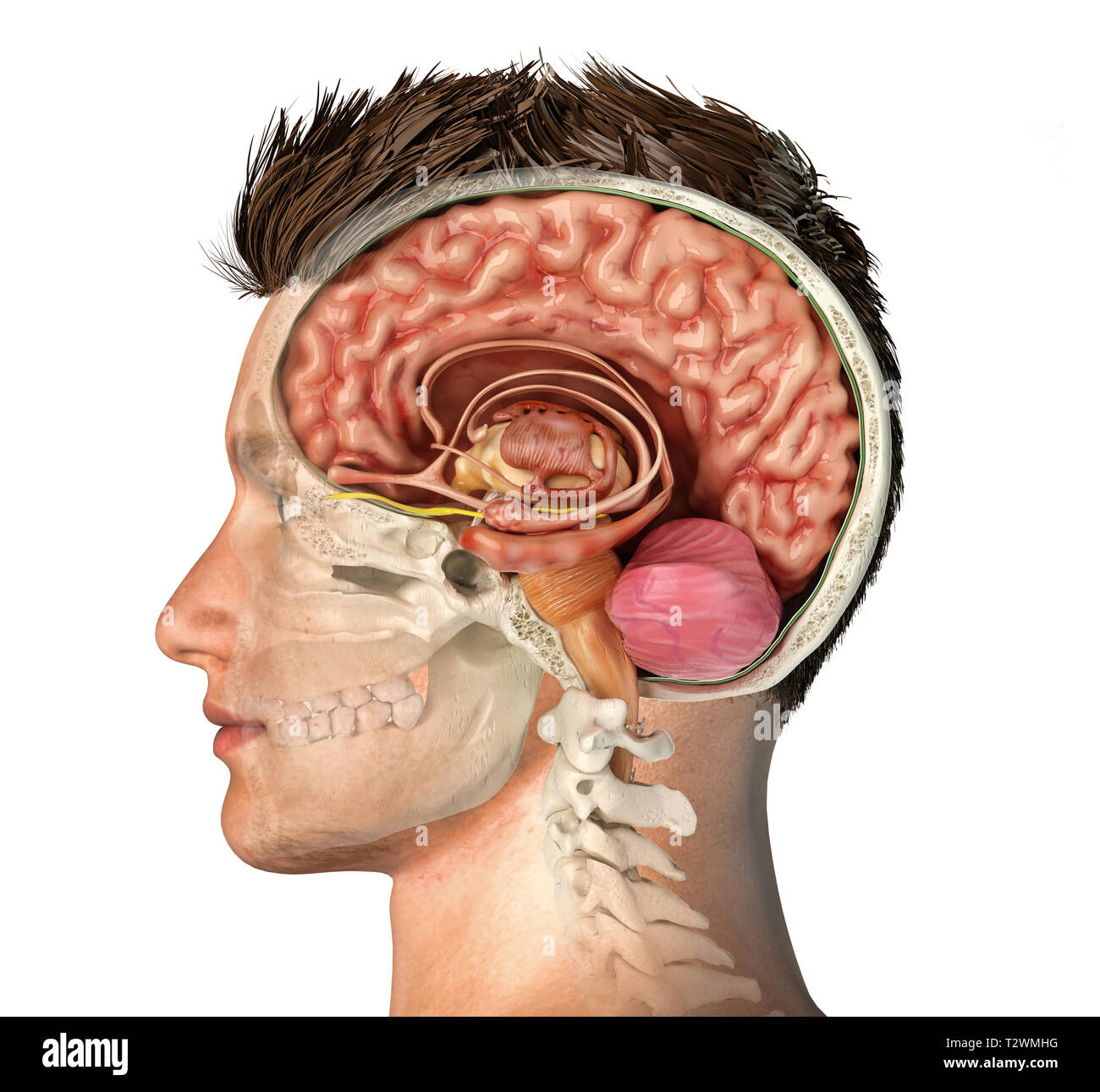 Man head with skull cross section with cut brain. Side view on white background. - Stock Image