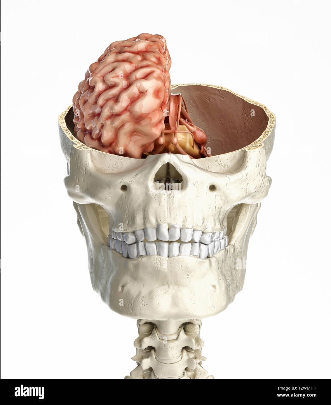Human skull transversal cross section with brain. Front view on white background. - Stock Image