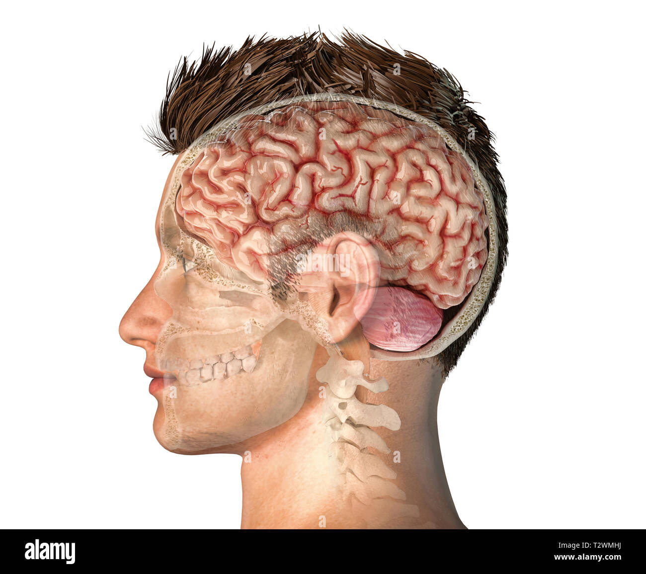 Man head with skull cross section with whole brain. Side view on white background. - Stock Image