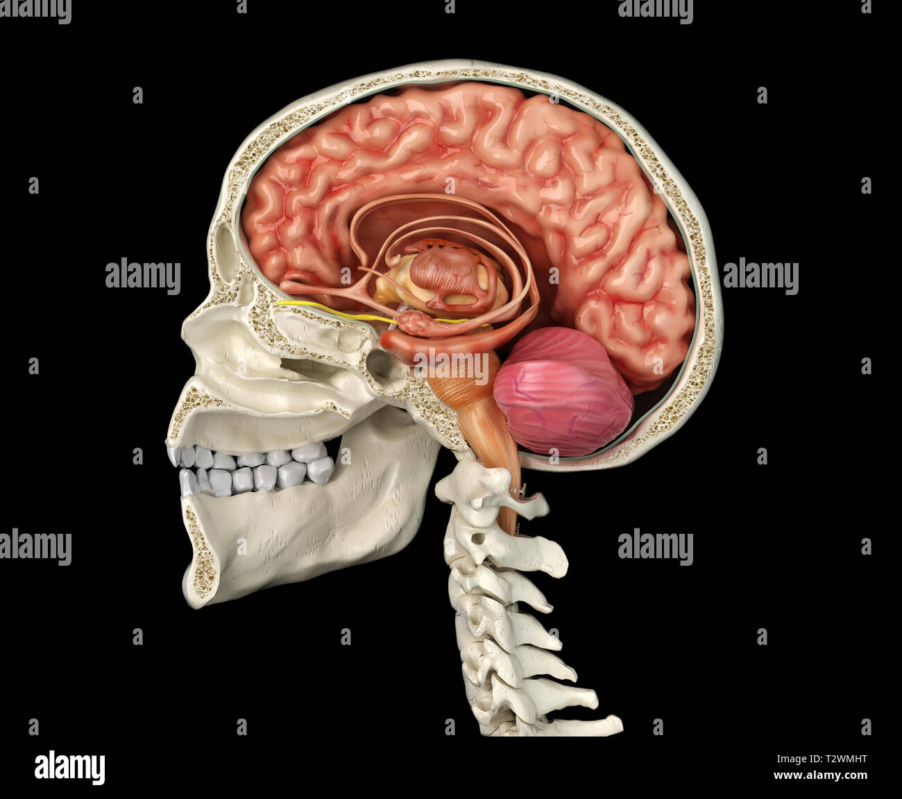 Human skull mid sagittal cross-section with brain. Side view on black background. - Stock Image